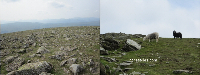 Walking across the top of Helvellyn towards a nearby peak, and some sheep